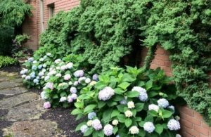 Climbing evergreens with hydrangeas