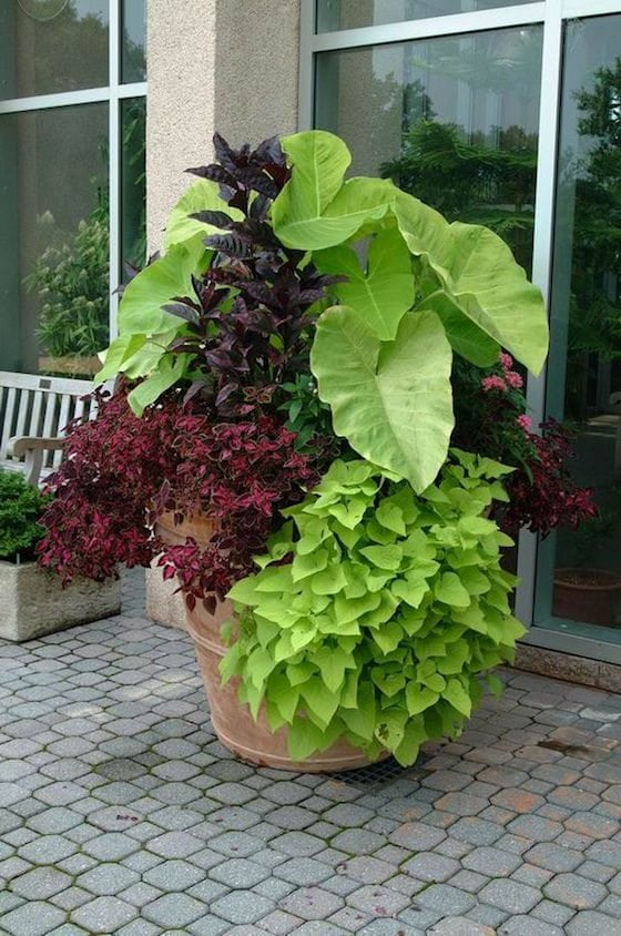 Elephant Ears, Coleus and Sweet Potato Vine make a stunning arrangement in this pot