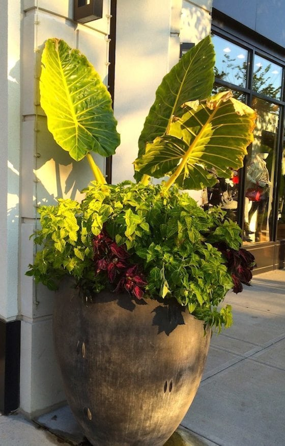 I love walking around our local outdoor shopping center. The landscapers do an amazing job and I always find gardening inspiration from their gorgeous pots! OMG Lifestyle Blog - Container Gardening